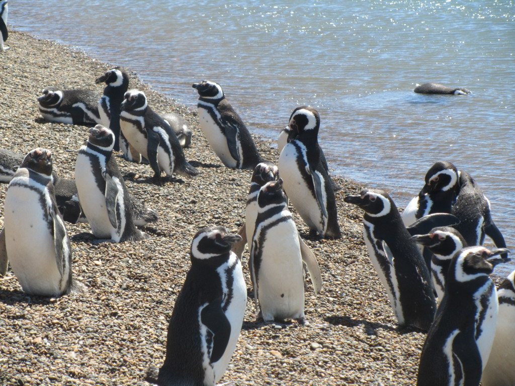 Penguins at Puerto Madryn, Penguins, pictures of penguins