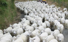 Sicily Travel Advice: Avoiding KILLER SHEEP