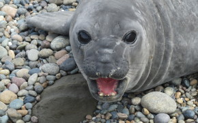 elephant seals, pictures of elephant seals, elephant seals in argentina