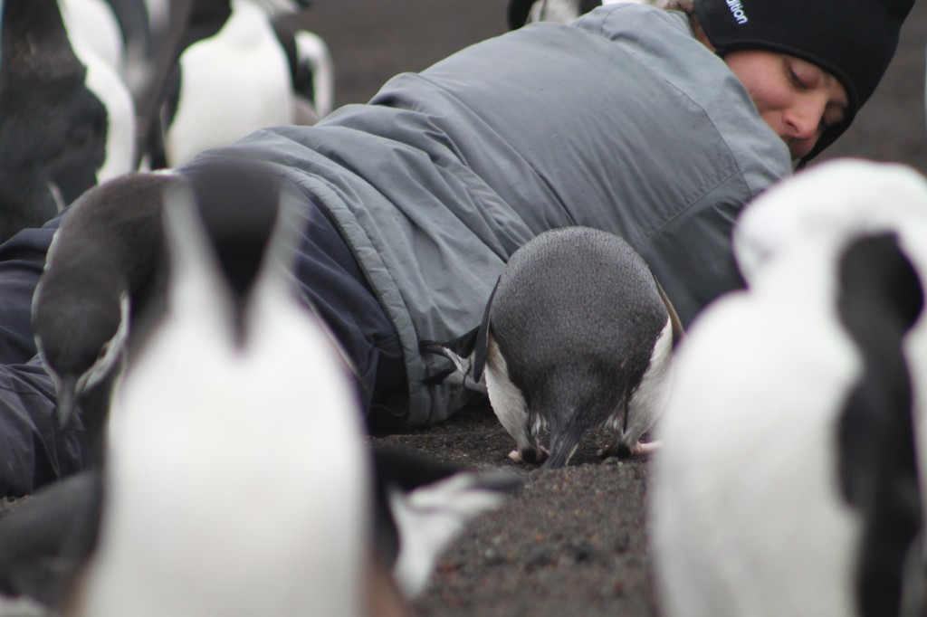 penguins, chin strap penguins, penguins in antarctica, antarctic penguins, penguins