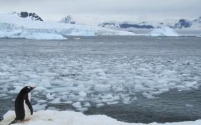 penguins in Antarctica, gentoo penguins, Antarctica penguins, penguins, pictures of Antarctica, pictures of penguins