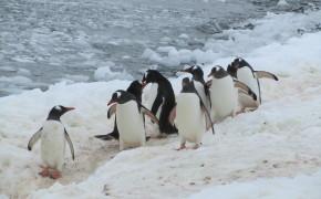 penguins in Antarctica, pictures of Antarctica, Antarctica pictures, penguins, pictures of penguins, curveville island