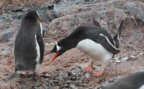 penguins, pictures of penguins, penguins in antarctica,