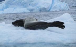 leopard seal, seals in Antarctica, pictures of Antarctica, pictures of paradise harbor, photos of Antarctica, leopard seals in antarctica