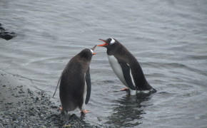 chin strap penguins, penguins, gentoo penguins, pictures of penguins in antarctica, pictures of gentoo penguins, pictures of penguins