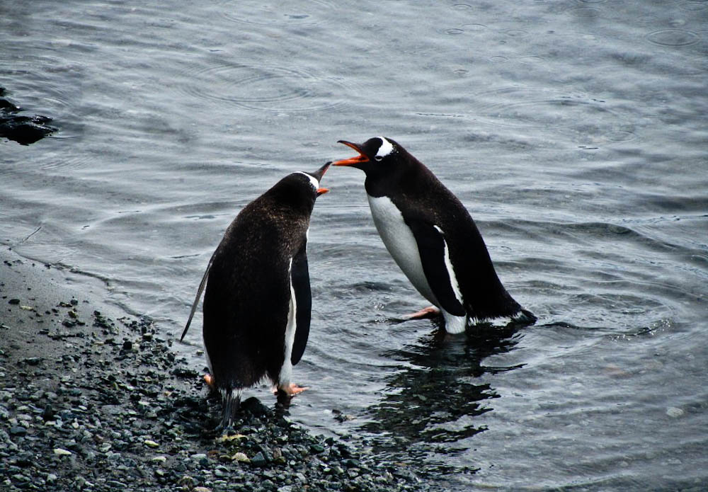 Penguins interacting Antarctica