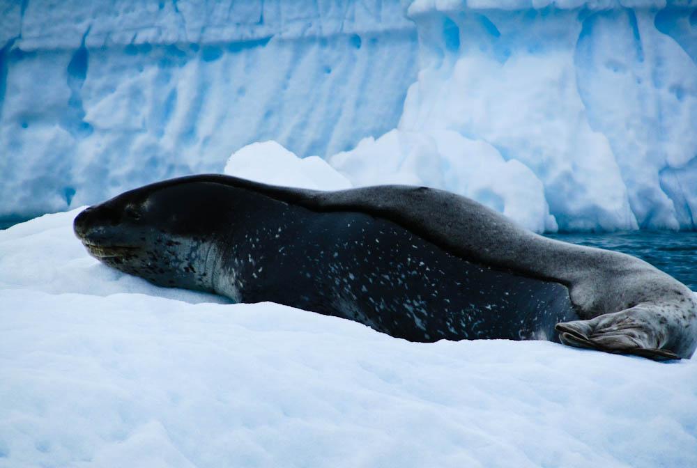 sea leopard antarctica