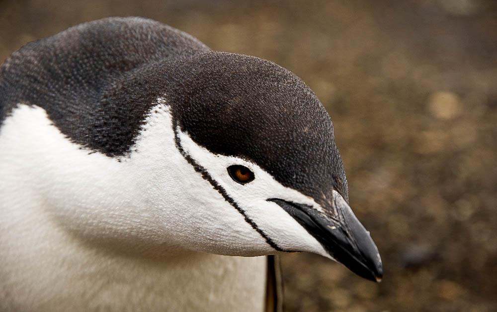 Chin Strap Penguin at Deception Bay