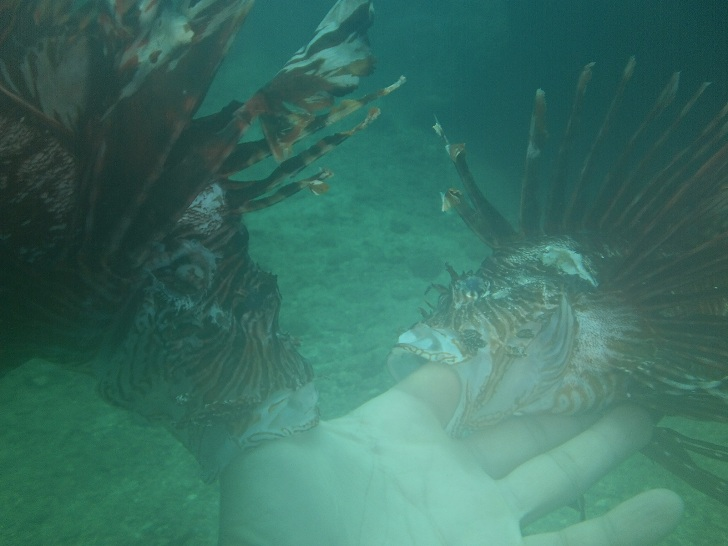 scuba diving with lion fish, lion fish underwater