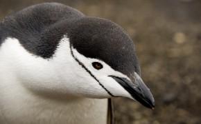 penguins in deception bay antarctica, penguins in antarctica, pictures of penguins, photos of penguins, penguins in antarctica, antarctic penguins, chinstrap penguins, pictures of chinstrap penguins, chinstrap penguins, chinstrap penguins antarctica