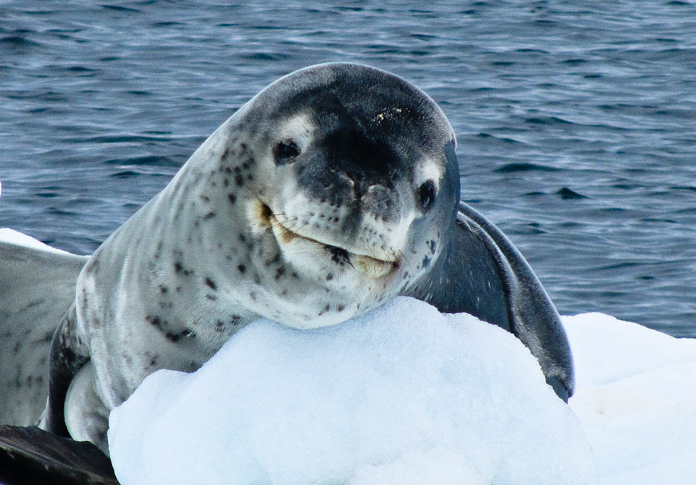 A Leapord Seal In Antarctica