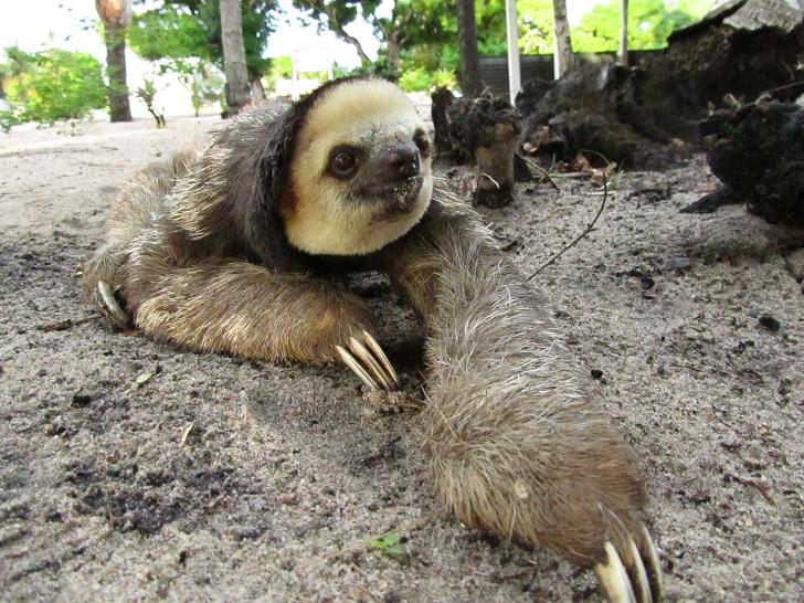 sloth, pictures of sloths, sloths in the amazon, amazon sloths, pictures of suriname, animals in the amazon, suriname photos, galibi nature reserve, galibi, galibi suriname