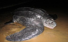 sea turtles, leatherback turtles, sea turtle pictures, french guyana turtles