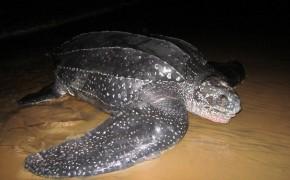 sea turtles, leatherback turtles, sea turtle pictures, french guyana turtles