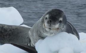 leopard seals, leopard seal pictures, pictures of leopard seals, leopard seal antarctica, leopard seals photos, photos of leopard seals