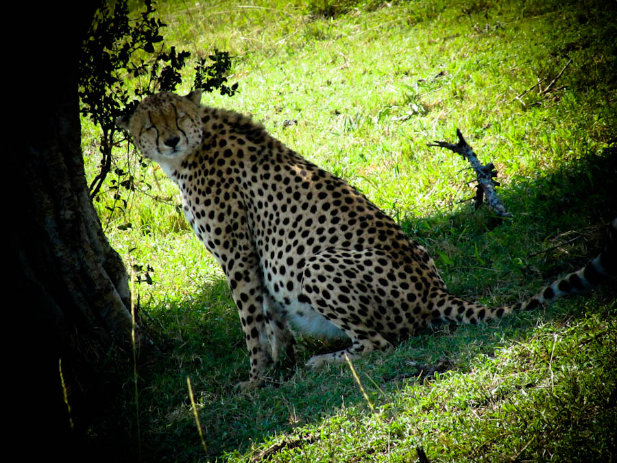 Cheetah on Safari in africa, cheetah, pictures of cheetah, seeing cheetahs on safari, africa safari cheetah
