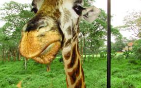 giraffe, pictures of giraffes, giraffes, giraffe center, giraffe kenya, giraffes nairobi