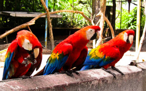 macaw parrots, macaw birds, animals in guyana, guyana animals, amazon macaws