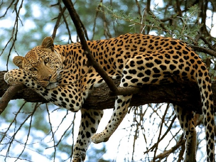 Leopard in Africa, the big 5, leopard in kenya, leopard, pictures of leopards