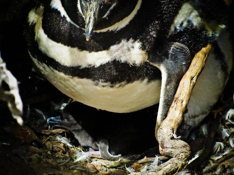 punta tombo, penguins, pictures of penguins, penguins argentina