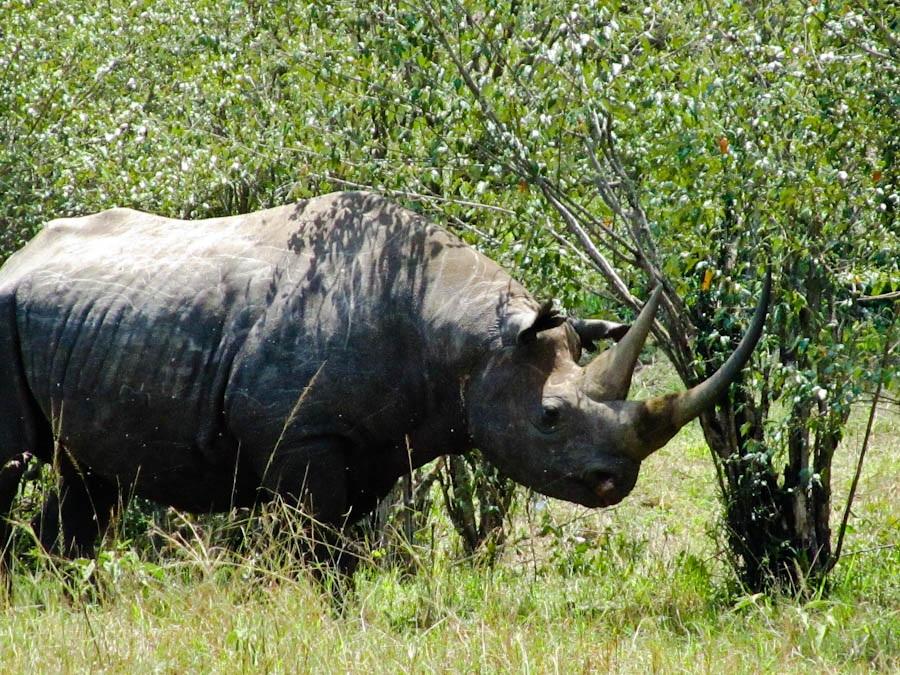 Rhino, Rhino in Kenya, Rhino in Africa, rhino in safari