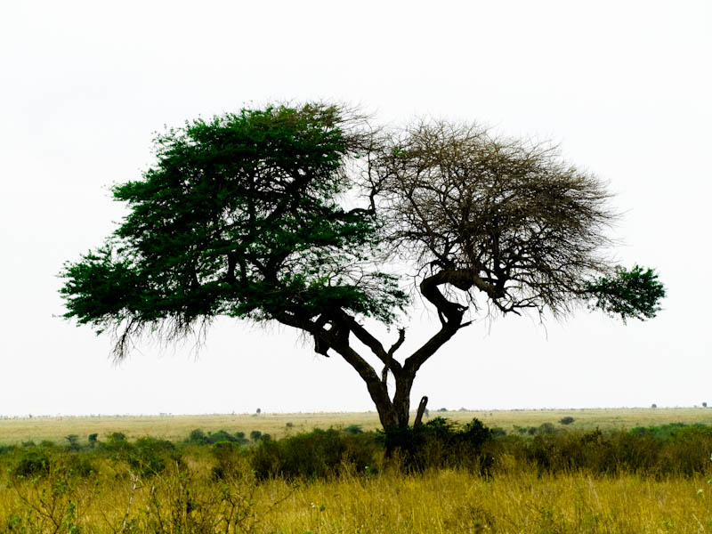 Acacia tree, Nairobi National park, fauna in kenya, fauna in nairobi national park, plants in kenya, plants in nairobi national park