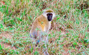 Vervet monkey, monkeys in africa, monkeys in kenya, monkeys with blue balls, pictures of monkeys, photos of monkeys