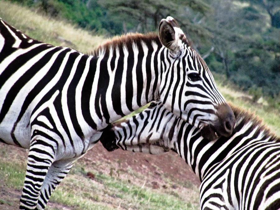 zebras in africa, zebras in kenya, zebras, zebra, zebra in africa, wild zebras