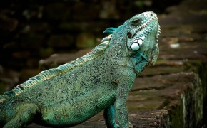 devils island, iguana at devils island, animals in french guyan