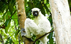 Lemur, lemurs, lemuarian