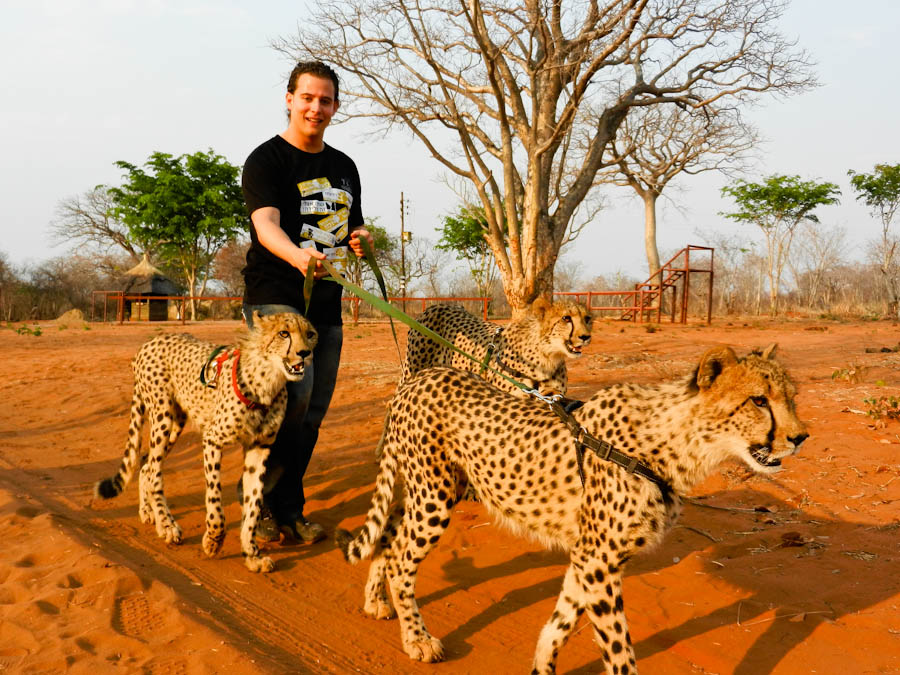 petting cheetah, petting a cheetah