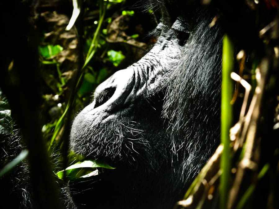 gorilla in uganda, gorilla, gorilla tracking, gorilla trek, gorillas