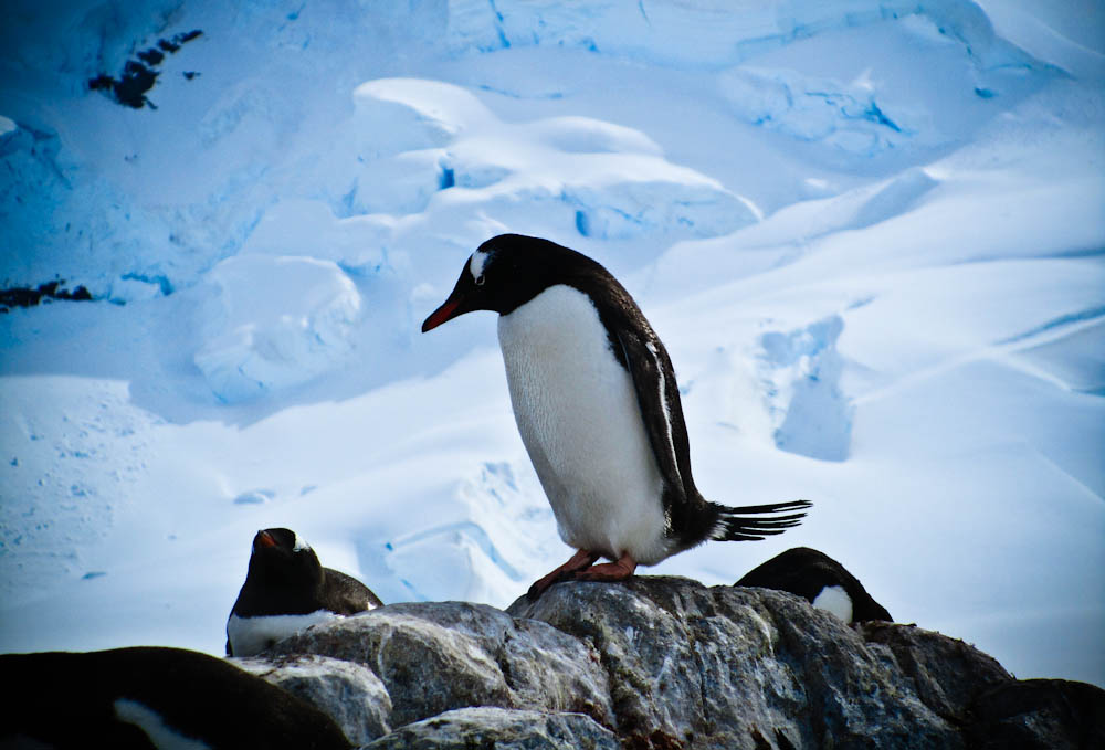 Penguins Pictures in Antarctica Antarctica Penguin