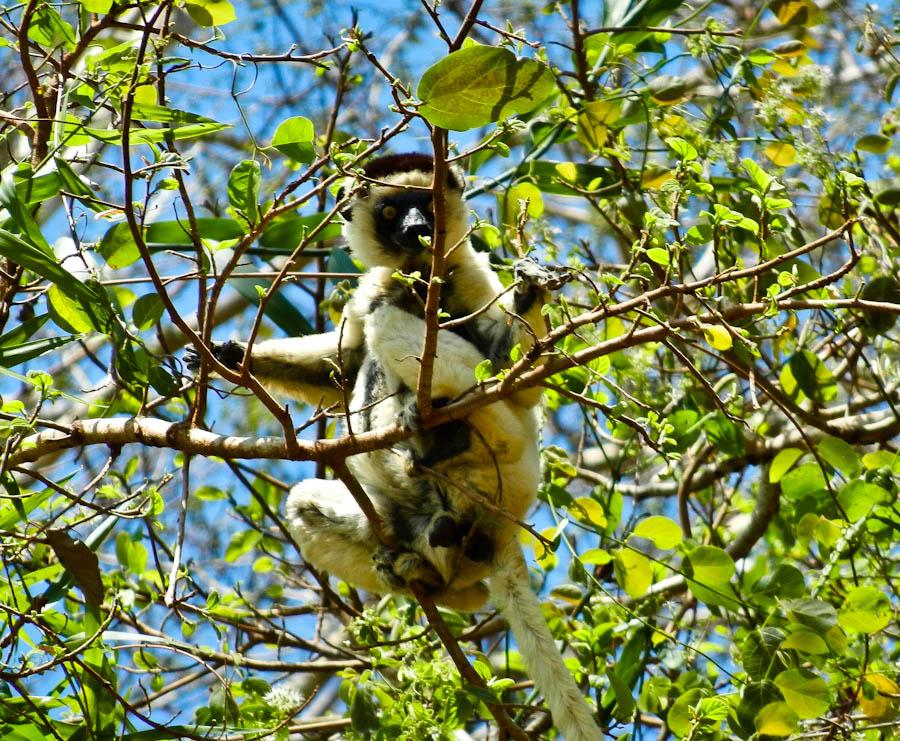lemur, lemur madagascar, white lemur