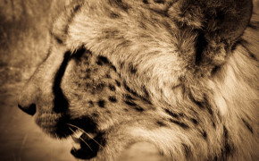 cheetah side profile