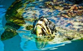 Curious Sea Turtle: Florianopolis, Brazil