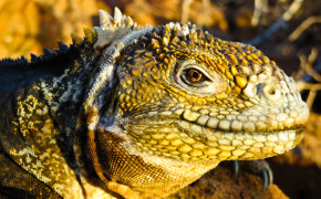 Land Iguana at Galapagos Islands