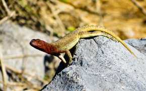 Lava Lizard in Galapagos Islands