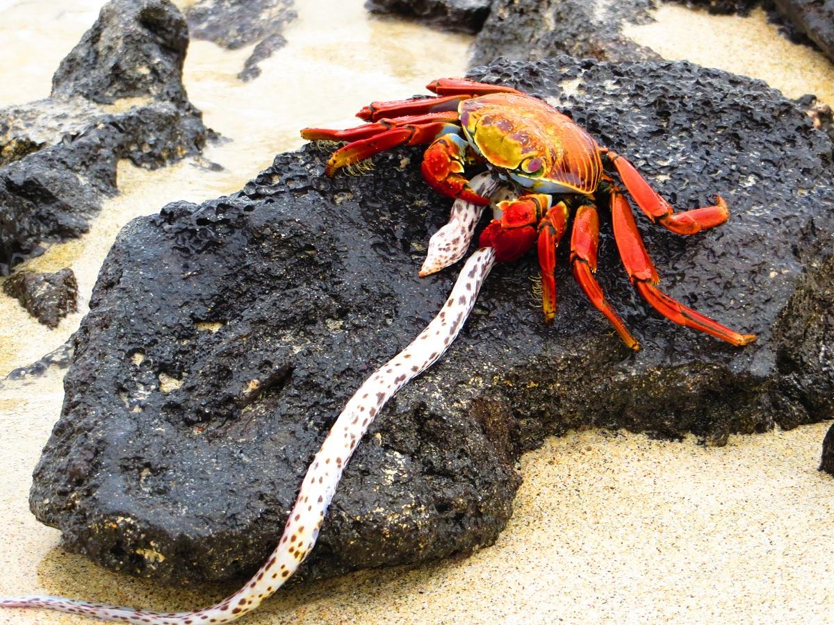 Crab Galapagos Islands