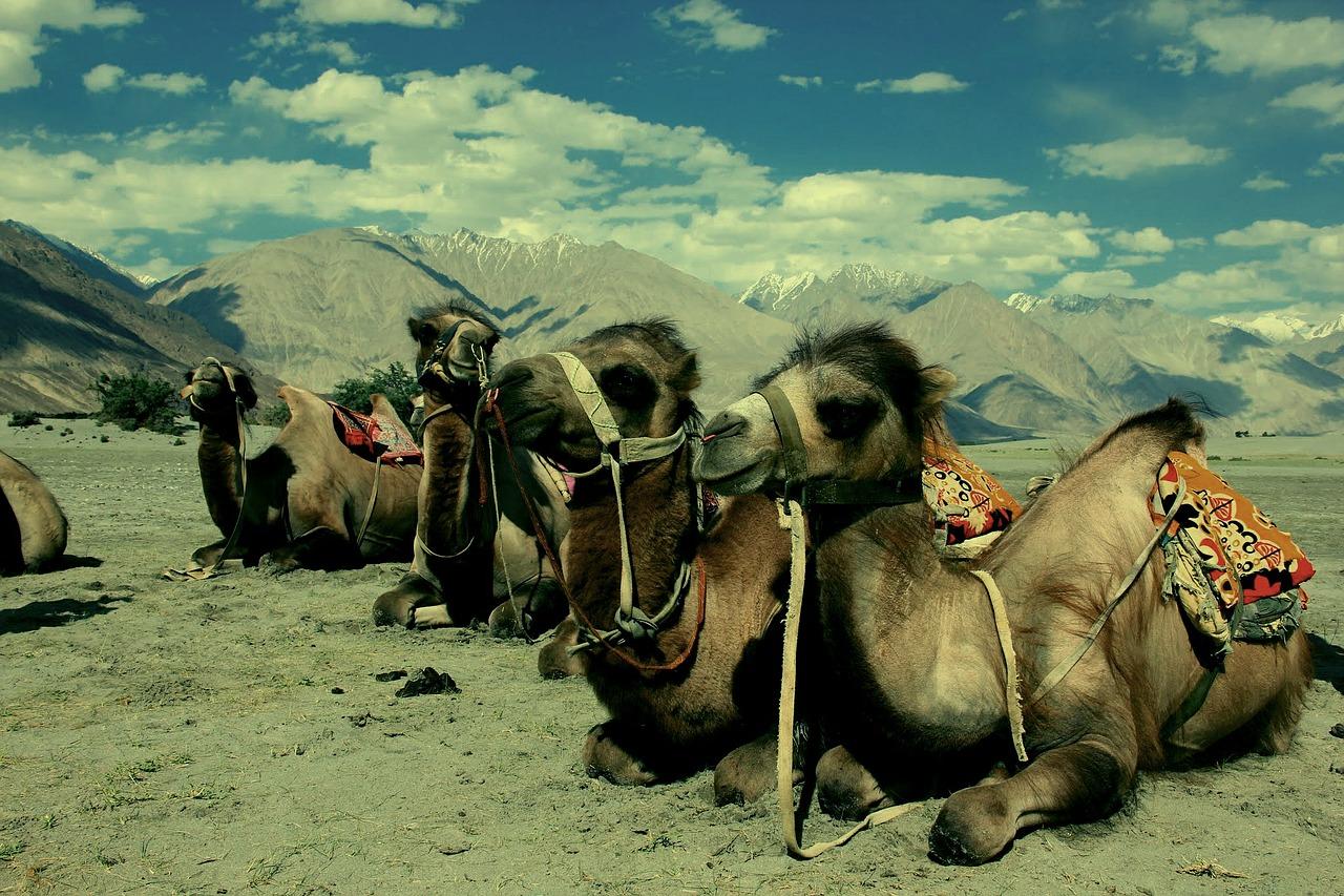 camel-489299_1280