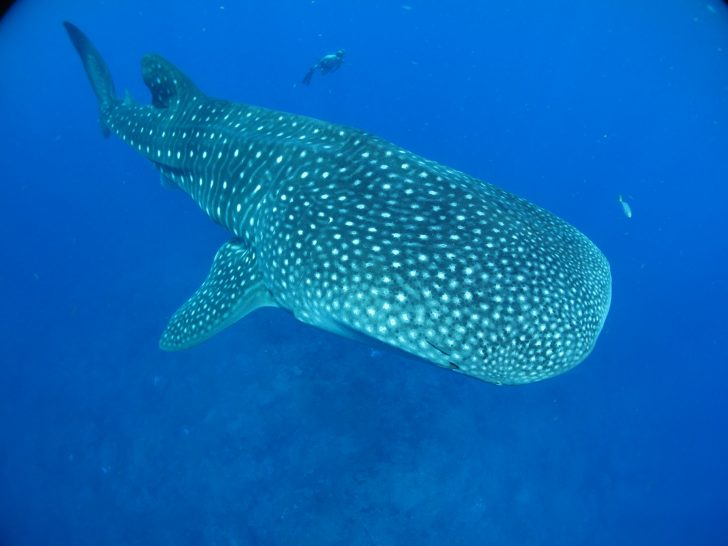 Galapagos Islands whale sharks