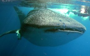 swim with whale sharks in Mexico