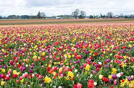 Skagit Valley Tulip Festival In Washington State