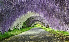 The Magical Kawachi Fuji Gardens Wisteria Tunnel, In Kitakyushu Japan